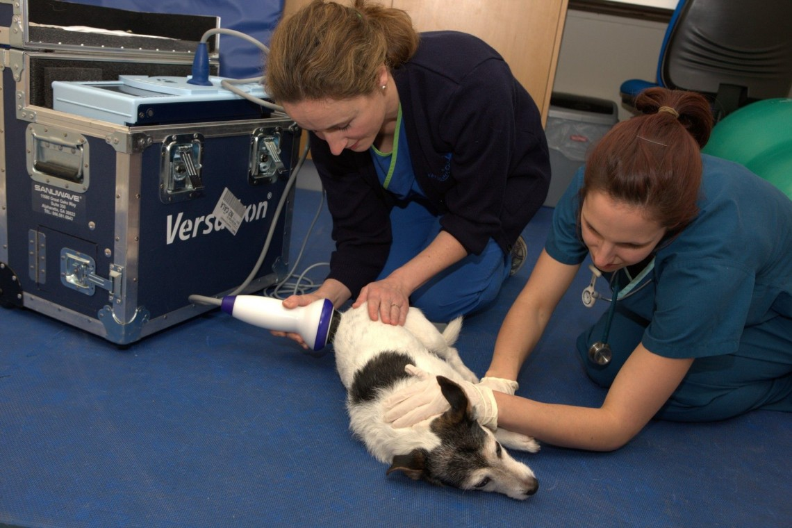A Jack Russell undergoing ESWT under sedation