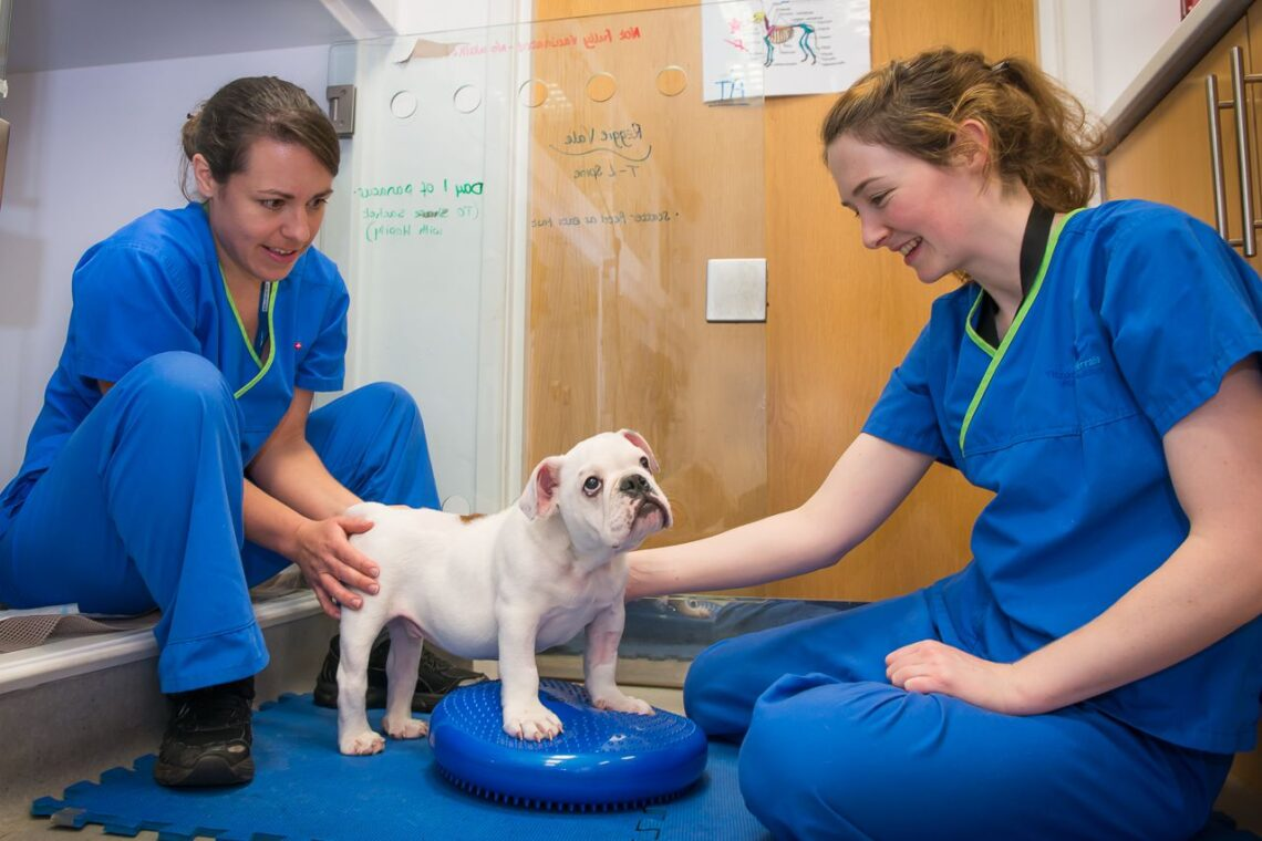Hemilaminectomy Dog A bulldog puppy...