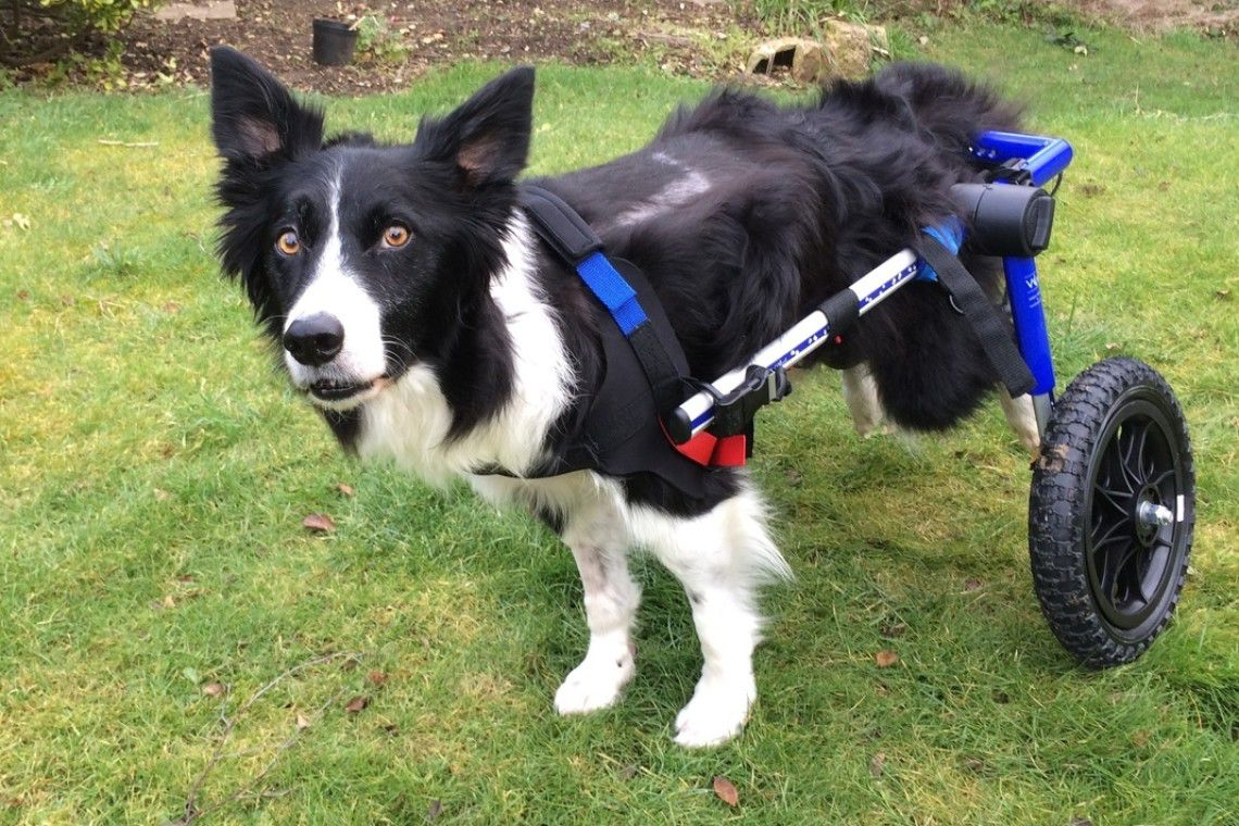 A border collie taking his first steps in his mobility cart