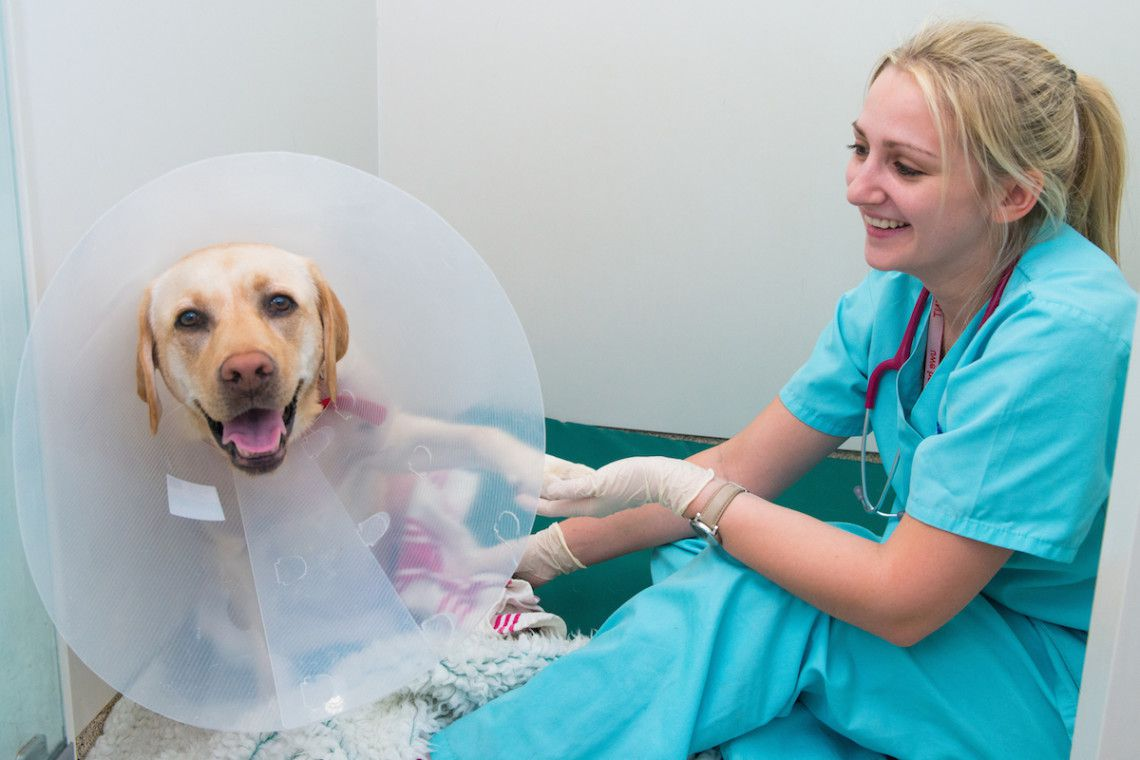 A little reassurance from one of our nurses for this labrador