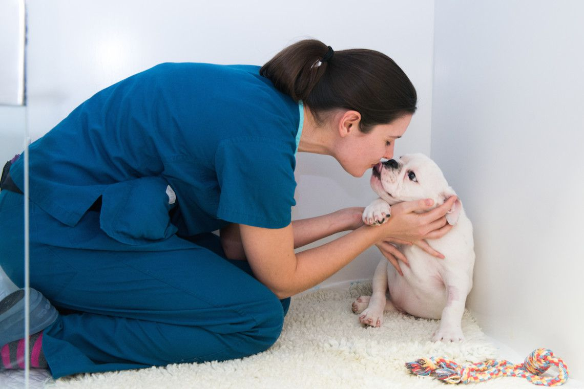 Some TLC from one of our nurses for this lucky little Bulldog