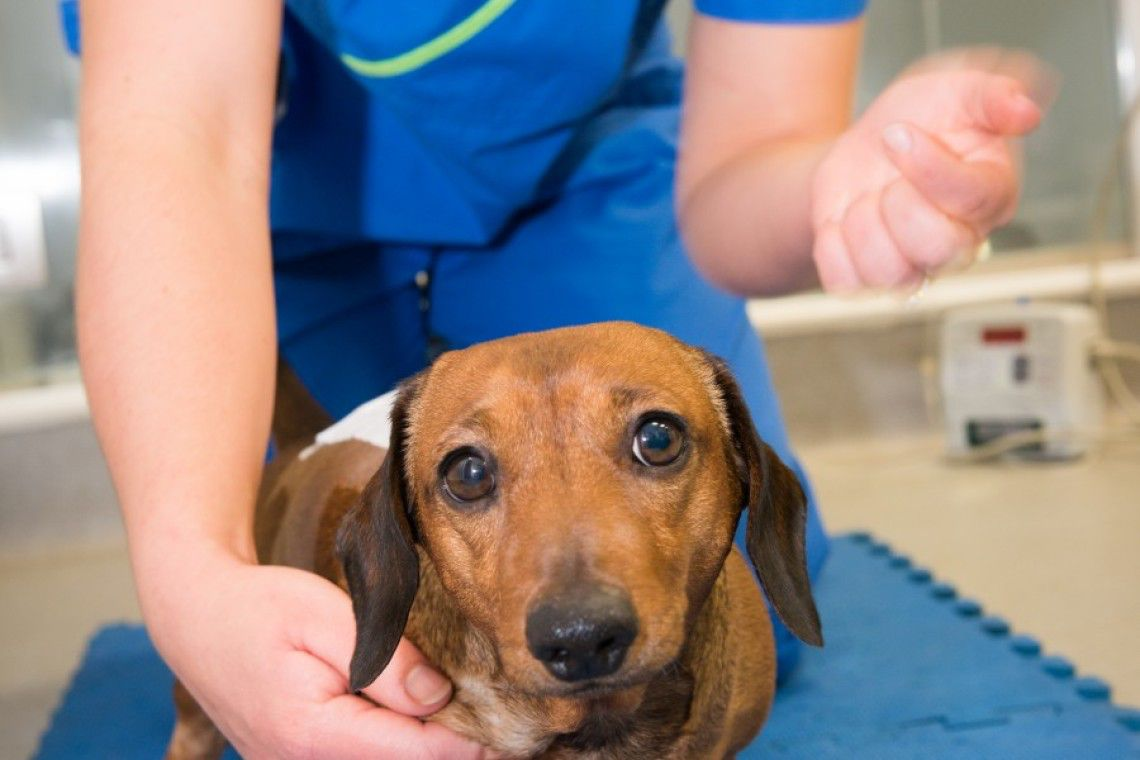 Dachshund is the most common example of a chondrodystrophic breed