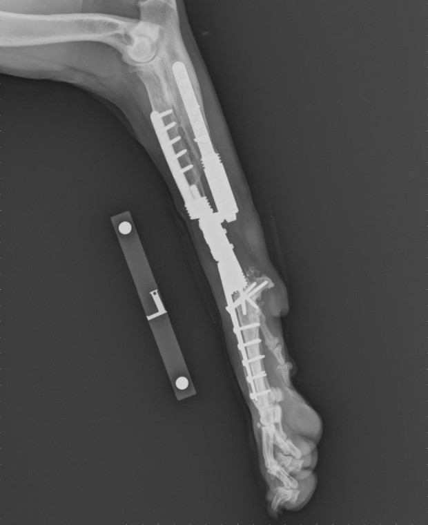 Radial endoprosthesis in the forelimb
