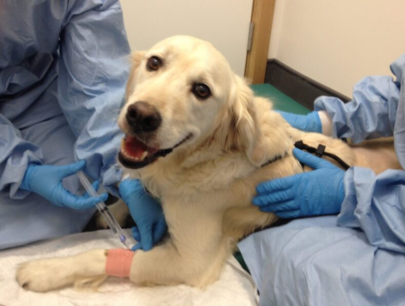 Canine patient receiving chemotherapy treatment