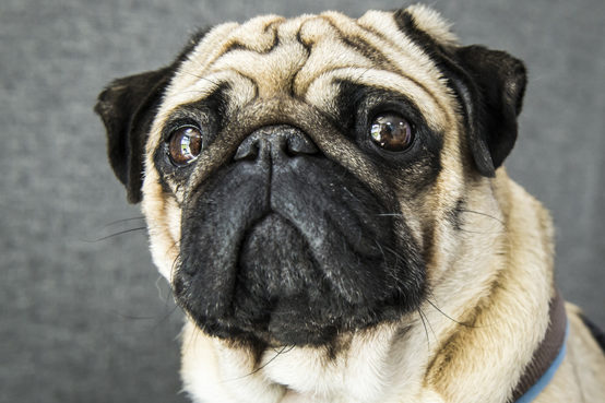 A pug at Fitzpatrick Referrals Oncology and Soft Tissue