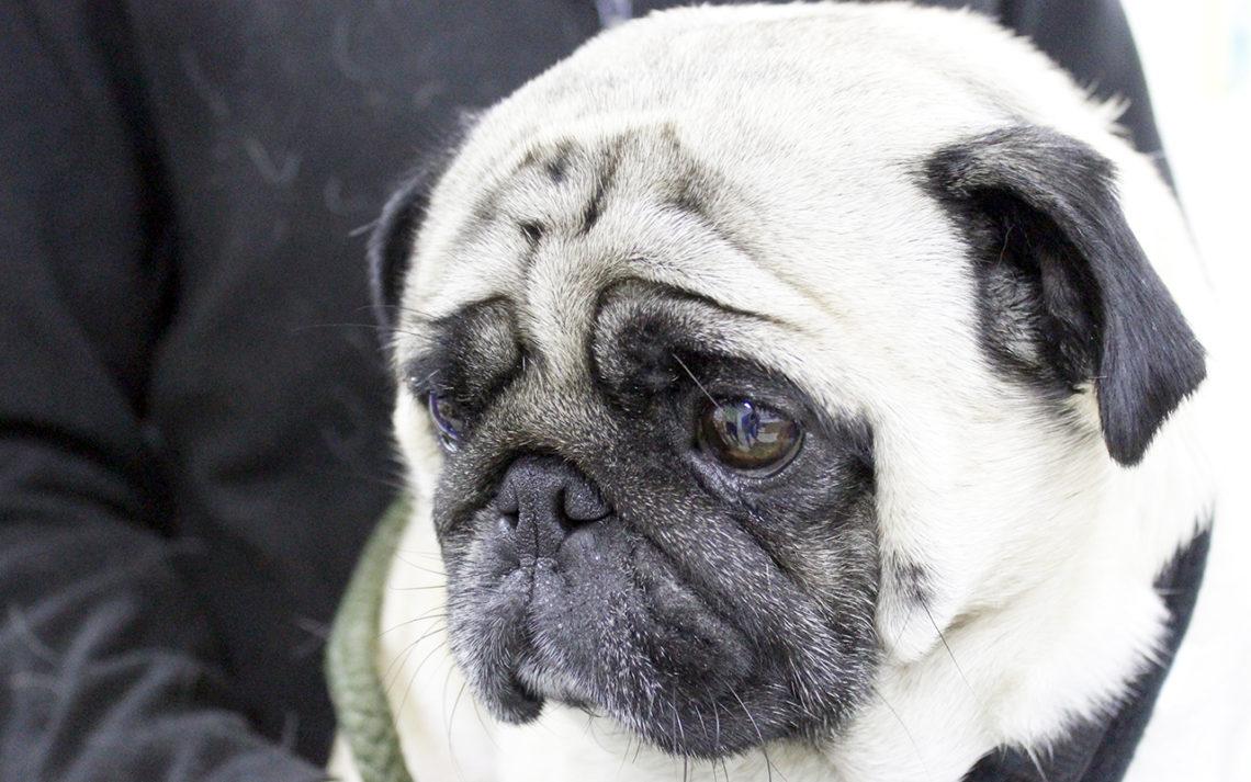 Brachycephalic Dog Breeds