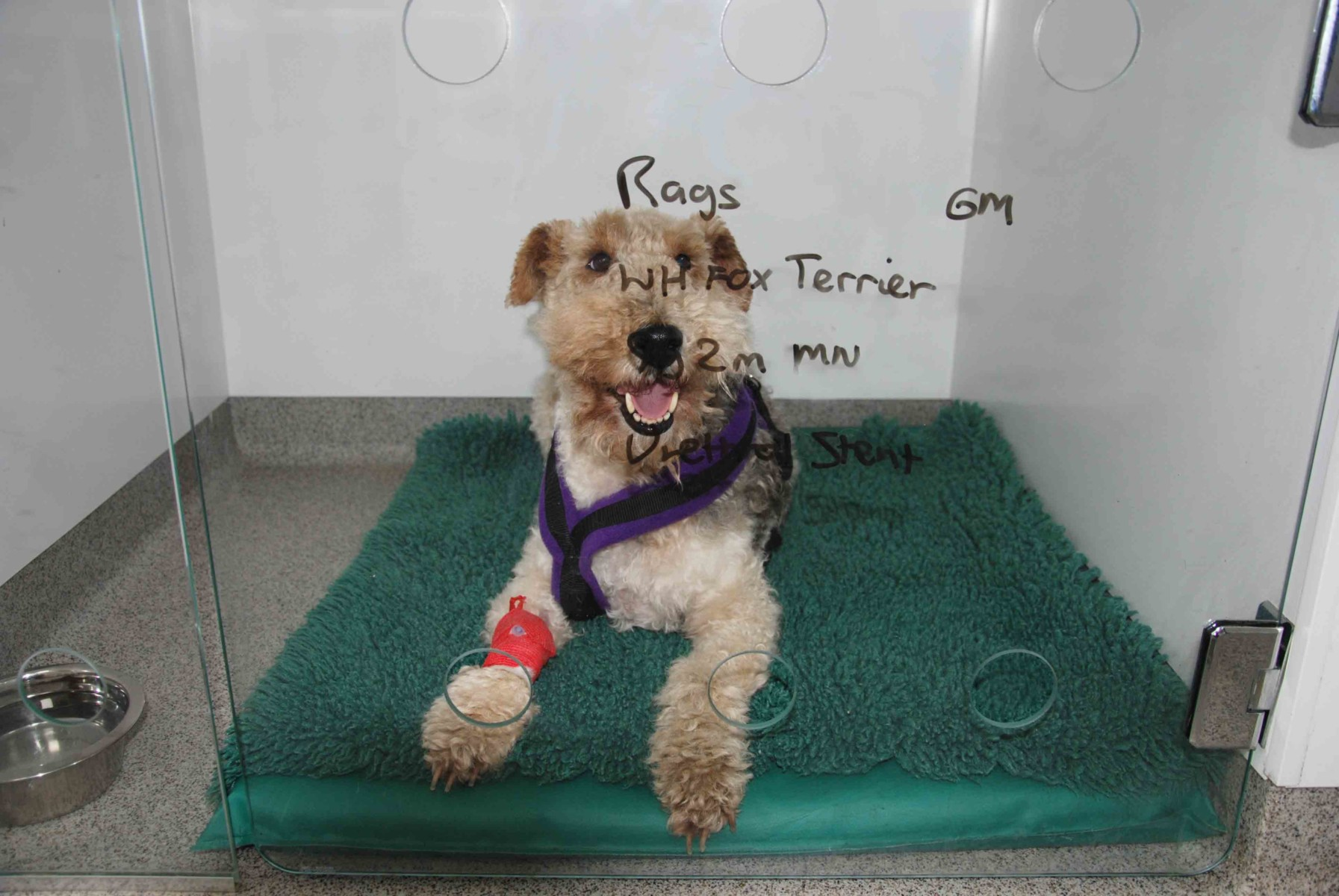 Wire Hair Fox Terrier Rags in kennels before surgery