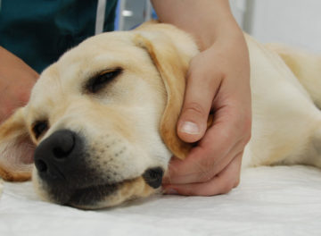 Yellow Labrador under anaesthesia at Fitzpatrick Referrals Oncology and Soft Tissue hospital in Guildford Surrey