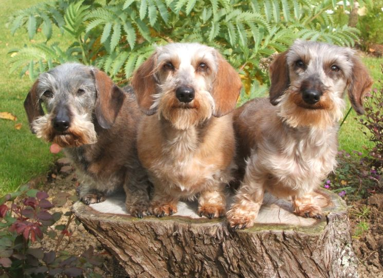 Lafora disease research Wirehaired Dacshunds