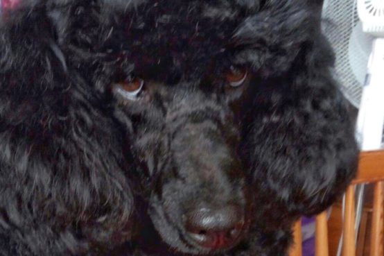 Poodle Bobby hip replacement patient at Fitzpatrick Referrals