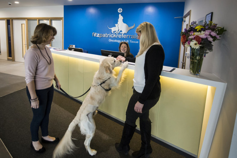 Golden Retriever in reception Fitzpatrick Referrals Oncology hospital