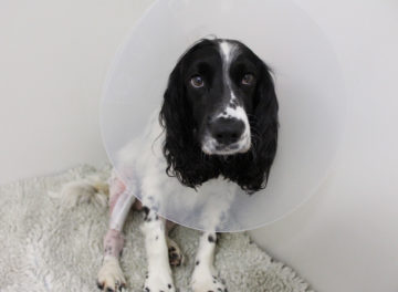 Spaniel with Cruciate Ligament Disease at Fitzpatrick Referrals Orthopaedics and Neurology