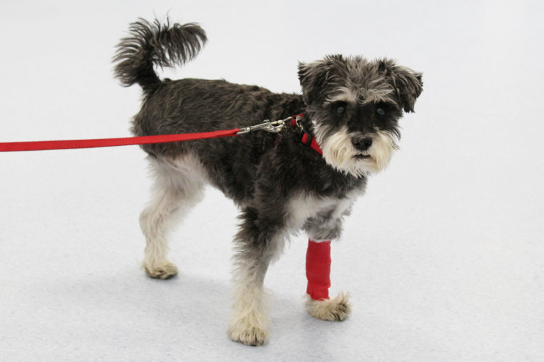 Tripawd dog following treatment for metastatic mast cell tumour at Fitzpatrick Referrals