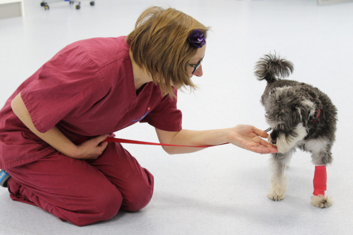 Auxiliary with canine cancer patient at Fitzpatrick Referrals Oncology
