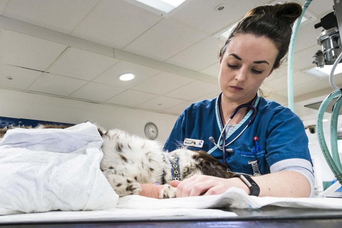 Prep nurse caring for a Cocker Spaniel