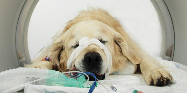 Canine Mast Cell Tumours - Fitzpatrick Referrals