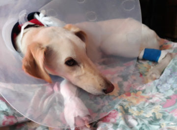 Lurcher recovering from complex fracture repair at Fitzpatrick Referrals Orthopaedics