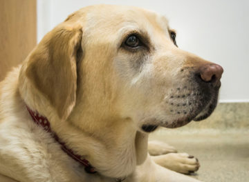 Yellow Labrador at Fitzpatrick Referrals Osteoarthritis Clinic