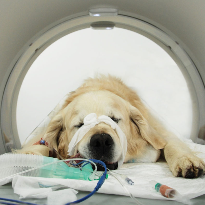 Dog in CT scanner at Fitzpatrick Referrals