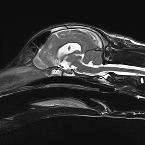 MRI scan of 6-month-old puppy's brain 5 weeks after surgery for hydrocephalus & having a ventricular to peritoneal shunt fitted