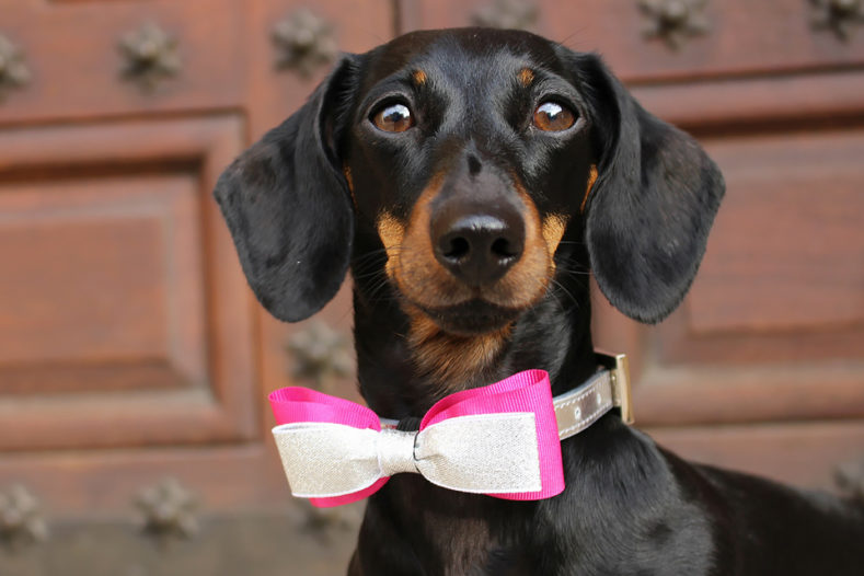 Dachshund Millie who had surgery for IVDD at Fitzpatrick Referrals Orthopaedics and Neurology