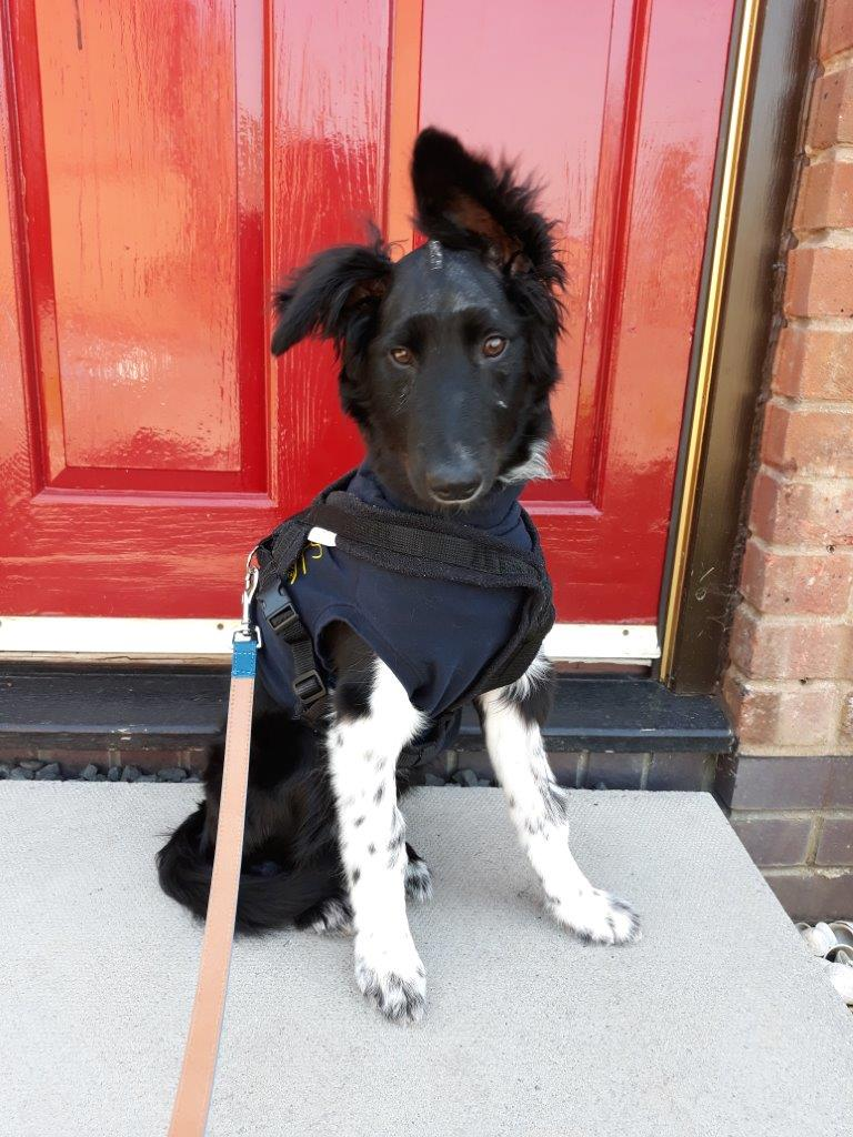 5 month old Border Collie puppy 8 days after brain surgery for hydrocephalus at Fitzpatrick Referrals