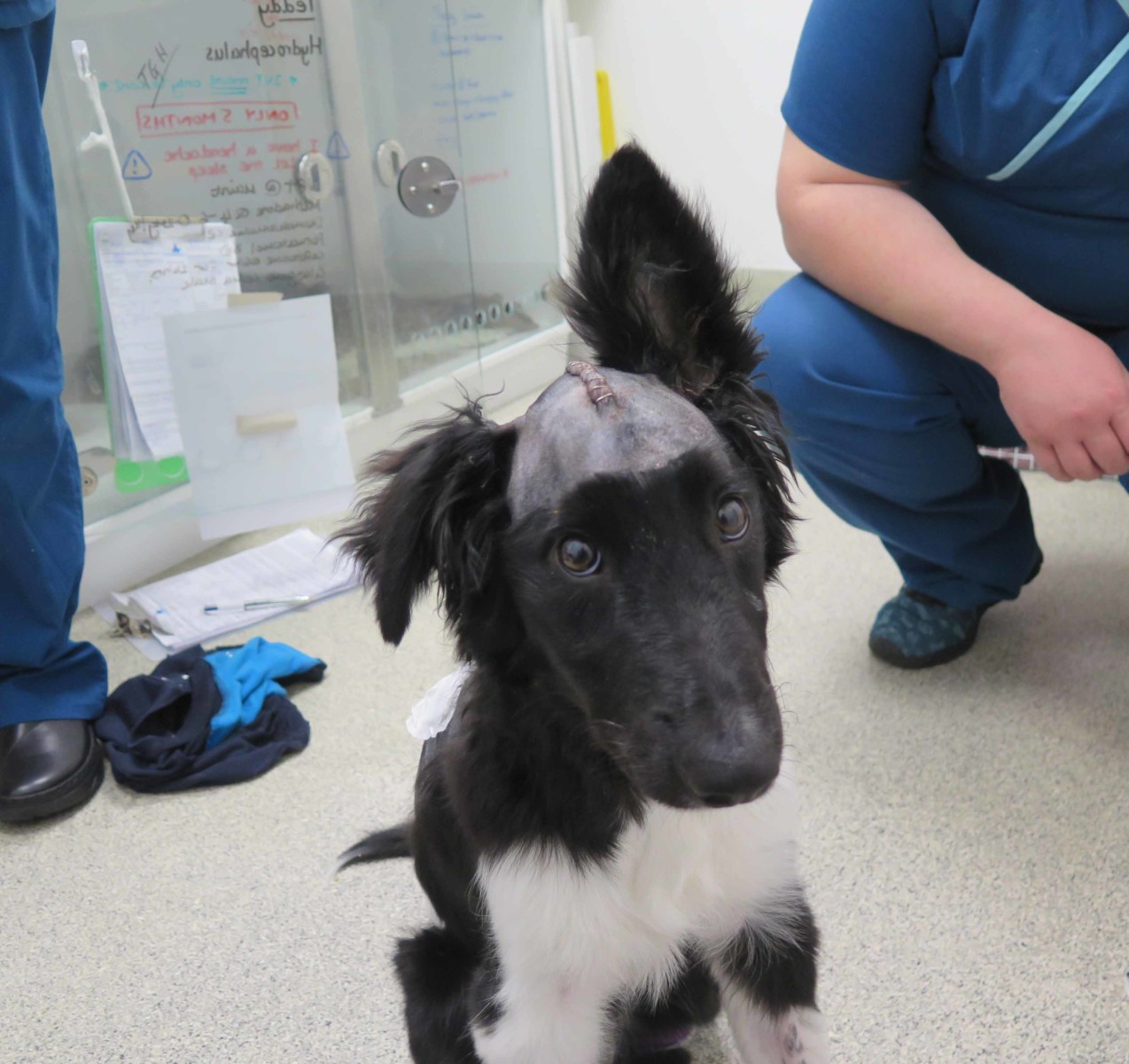 5-month-old Border Collie puppy after brain surgery for hydrocephalus at Fitzpatrick Referrals