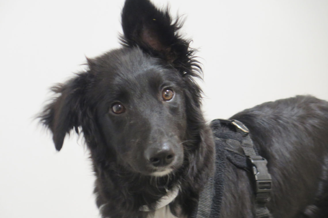 5-month-old Border Collie puppy with hydrocephalus and syringomyelia at Fitzpatrick Referrals Orthoaedics and Neurology