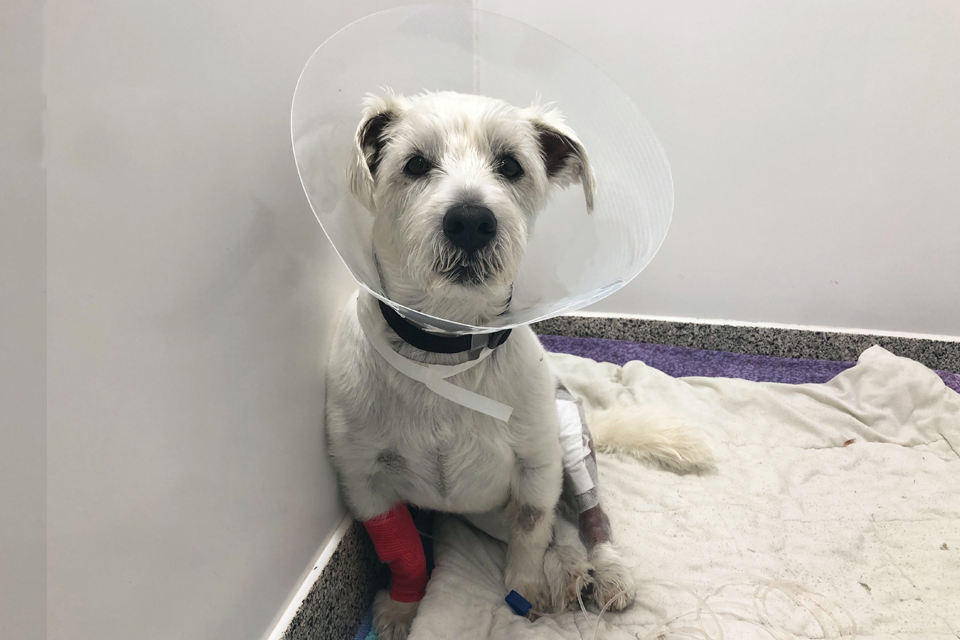 Patient Teddy 3 days after TPLO surgery at Fitzpatrick Referrals Orthpaedics and Neurology