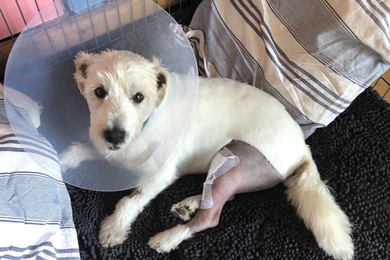 West Highland White Terrier recovering at home after TPLO surgery
