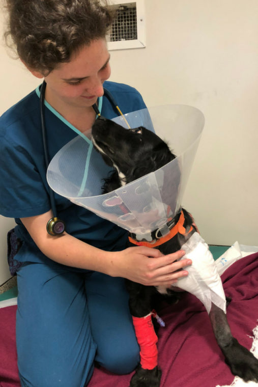 Spaniel patient recovering in the wards with veterinary nurse following surgery at Fitzpatrick Referrals Orthopaedics and Neurology practice.