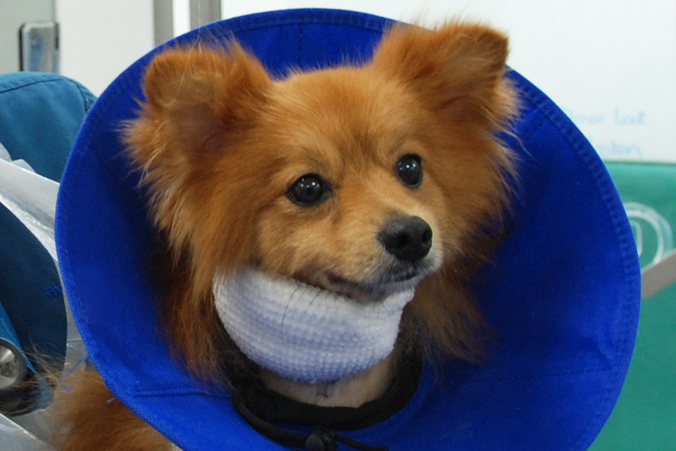 Dog recovering from a dog bite trauma injury at Fitzpatrick Referrals Oncology and Soft Tissue hospital