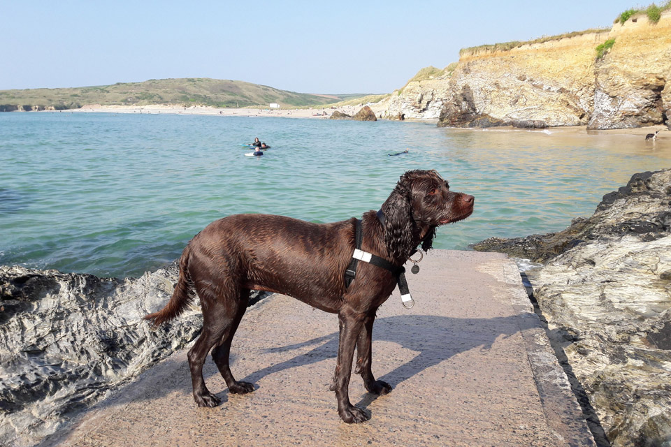 Spaniel Labrador cross at the beach in St Ives