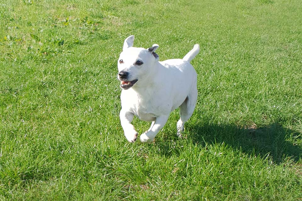 Jack Russell Terrier patient at Fitzpatrick Referrals for prostatic tumour treatment