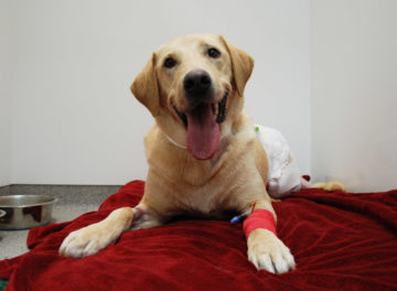 Labrador patient recovering following hemipelvectomy surgery