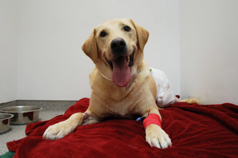 Labrador patient recovering following hemipelvectomy surgery
