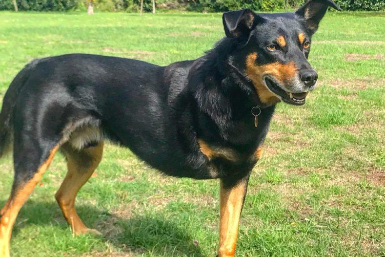 Three legged dog Tully osteosarcoma survivor