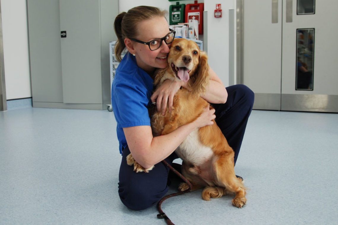 Cocker Spaniel with prostatic cancer having cuddles with an intern at Fitzpatrick Referrals