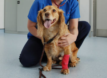 Cocker Spaniel with prostatic cancer at Fitzpatrick Referrals Oncology & Soft Tissue