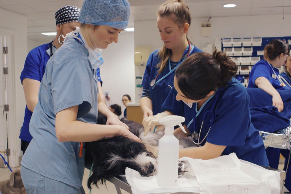 Registered Veterinary Nurses treating a patient in prep
