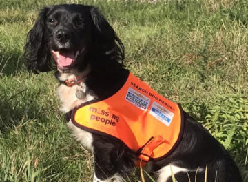 Springer Spaniel Search and Rescue Dog