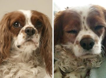 King Charles Cavalier Spaniel with Chiari-malformation associated pain