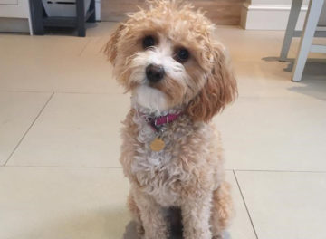 Happy Cavapoo patient 1 year after surgery