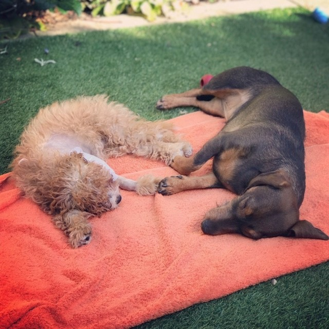 Cavapoo dog recovering from surgery with her canine pal