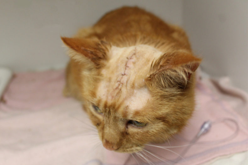 Close up of a cat's scar following surgery