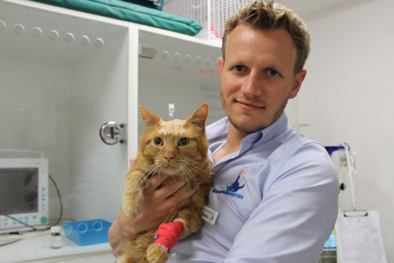 Domestic short hair cat two days after brain surgery with senior surgeon
