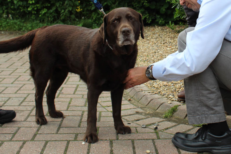 Labrador patient at Fitzpatrick Referrals Osteoarthritis Clinic