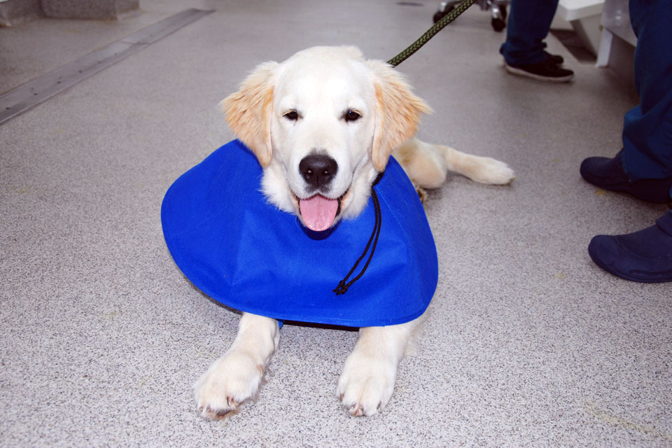 Six-month-old Golden Retriever in the wards at Fitzpatrick Referrals Oncology and Soft Tissue.