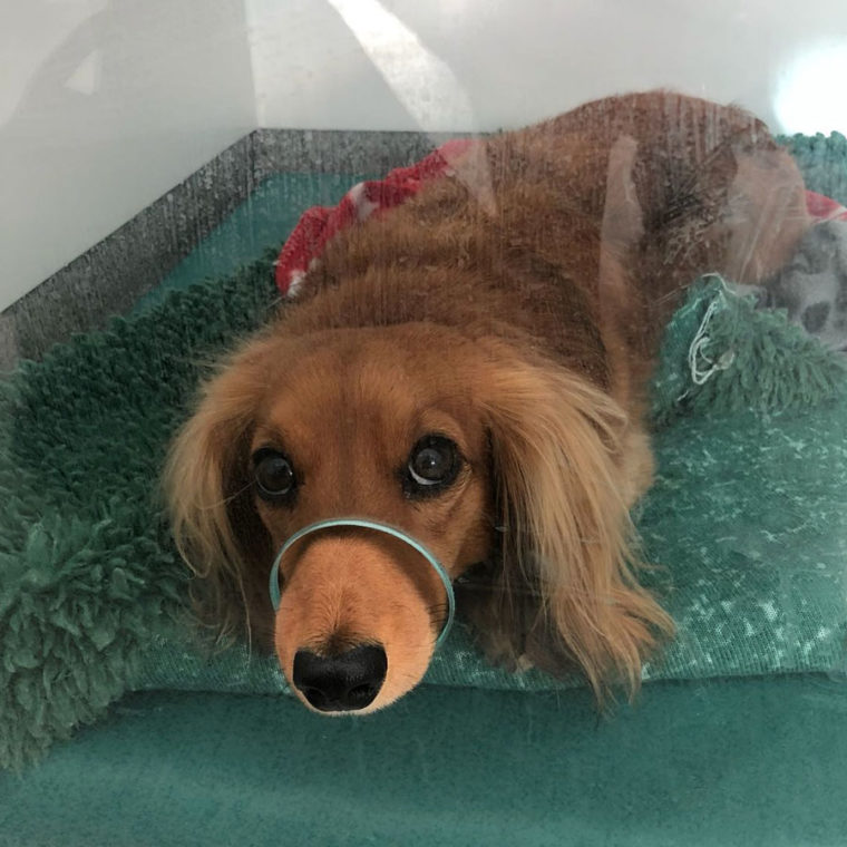 Miniature Long Haired Dachshund relaxing in the wards at Fitzpatrick Referrals
