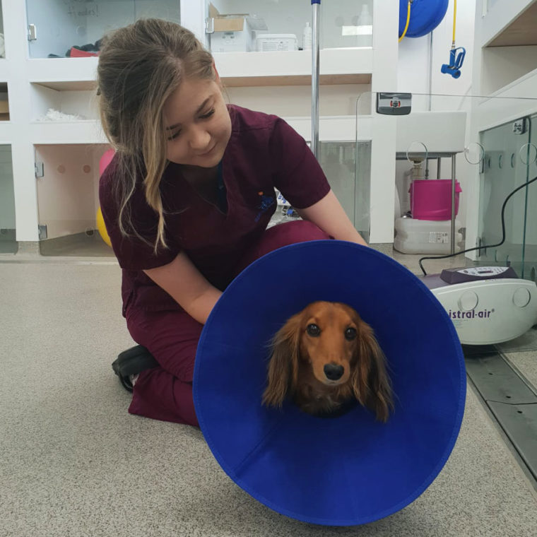Miniature Long Haired Dachshund patient in cone at Fitzpatrick Referrals